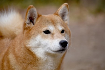 きつね顔の柴犬 画像