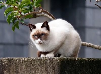 シャム猫1 画像
