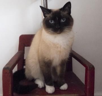 シャム猫2 画像
