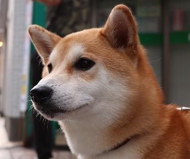 柴犬の体重2 画像
