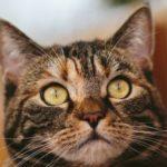 マンチカンの体重(成猫)ってどのくらい?体重が増えない3つの理由