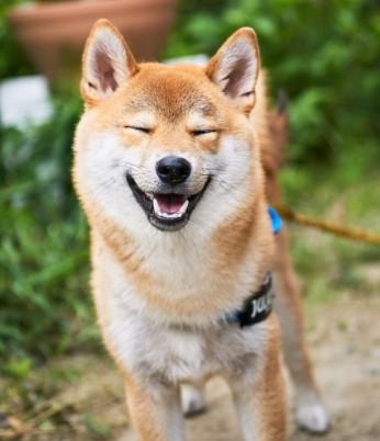 柴犬の寿命 画像