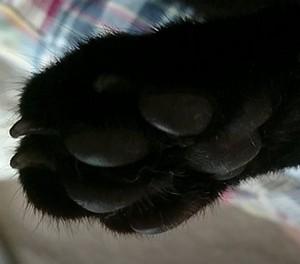 愛猫ジェリーの肉球の厚さ 画像