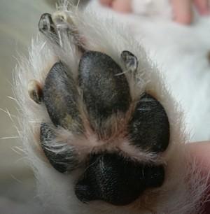 愛犬サムの肉球 画像