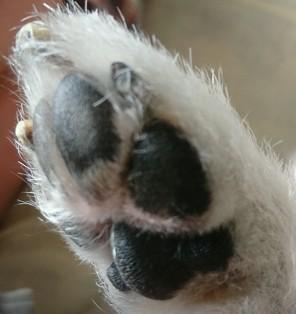 愛犬サムの肉球の厚さ 画像