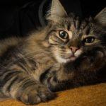 猫が「ふみふみ」する意味と理由!ふみふみしない猫との違いって?