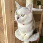 マンチカンに白猫はいた!リスクと魅力をぶっちゃける