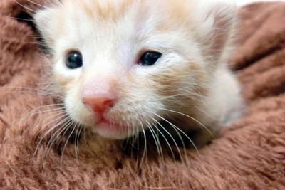 哺乳瓶からミルクを吸う力がない 子猫 画像